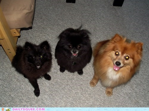 dogs german spitz mixed breed pet pomeranian reader squee rescue - 6586406656
