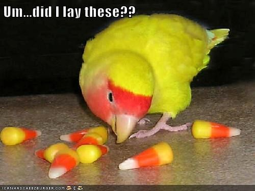 parakeet,candy corn,lay,confused,colors,categoryvoting-page