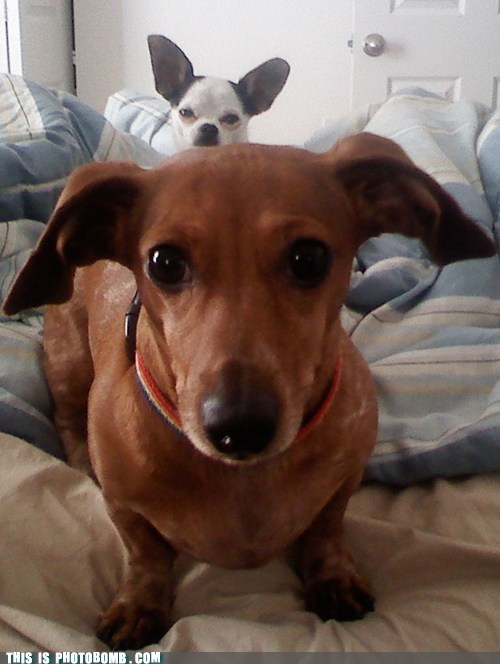 Ernie The Chihuahua Photo Bombs Spoonie's Portrait