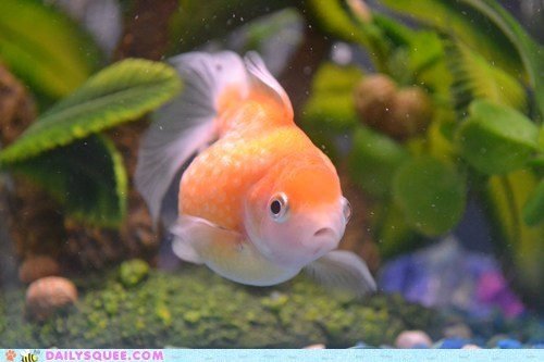 chubby fish goldfish pet reader squee round - 6589269248