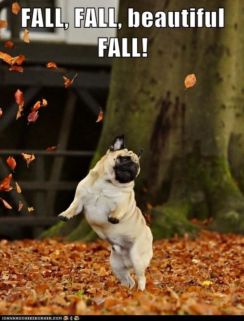 dogs,pug,fall,autumn,leaves,dancing,jumping