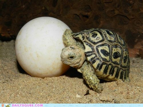 egg,shell,squee spree,tortoise,turtle,winner