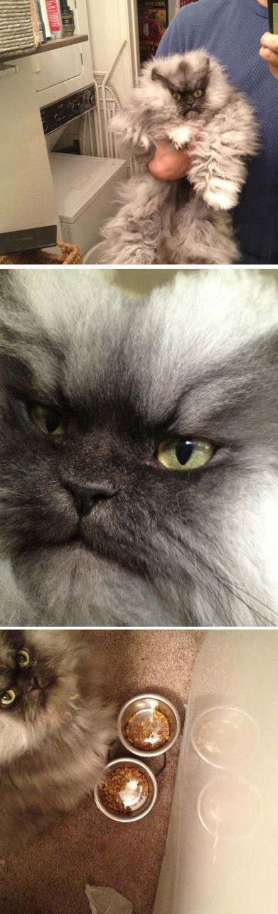 awesome,Cats,colonel meow,facebook,grumpy,himalayan cat,himalayans,like this cat on facebook,pages,Persian cat,social media