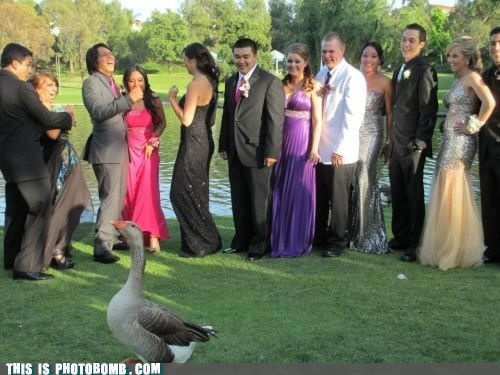 animals,fabulous,goose,prom