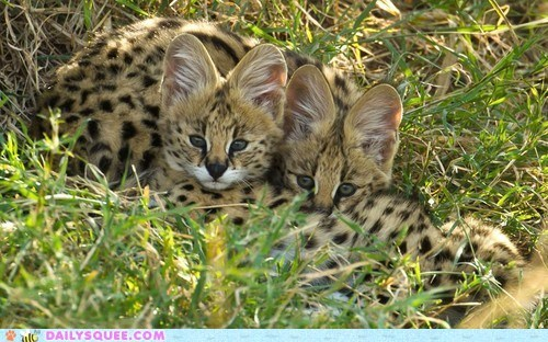 Babies serval ears cubs wild cats squee spots - 6591951616