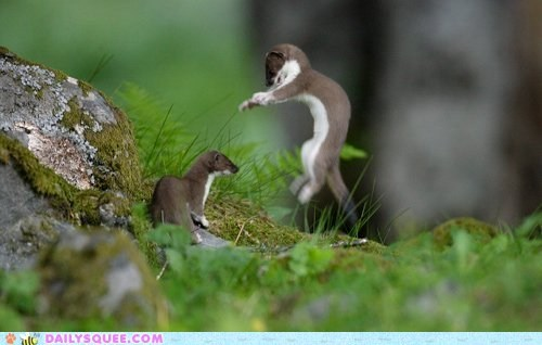 surprise weasels stoat squee playing jumping - 6591956224