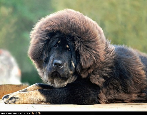 dogs Fluffy goggie ob teh week tibetan mastiff - 6592212480
