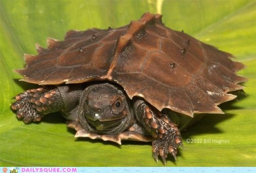 endangered species shell spiny squee spree turtle - 6592352768