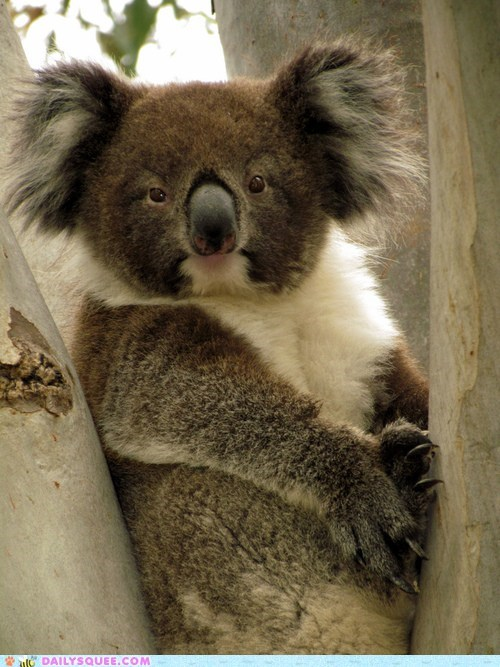 floof ears marsupials koalas squee - 6594079744