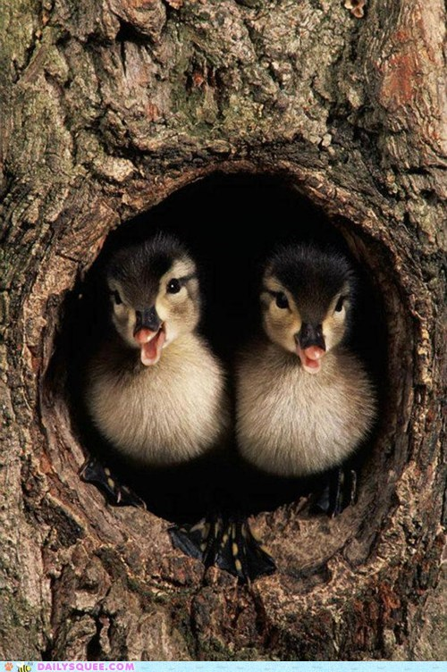 Babies,birds,ducklings,ducks,tree,squee