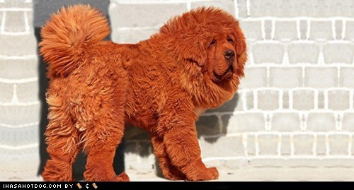 dogs,floofy,Fluffy,goggie ob teh week,red,tibetan mastiff