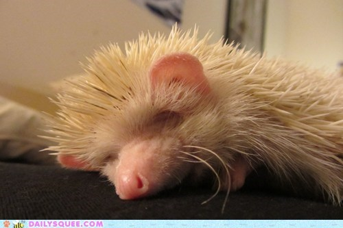 hedgehog,nap,pet,reader squee,sleeping,white