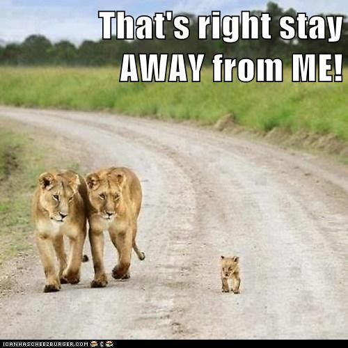 lions,cub,confident,dangerous,road,stay away,threatening,parents,kid