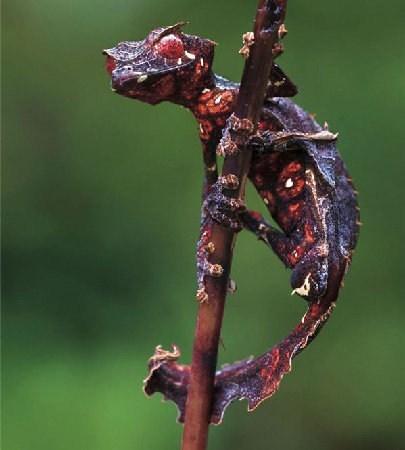 creepicute gecko leafy lizard satanic leaf tailed gecko - 6596286720