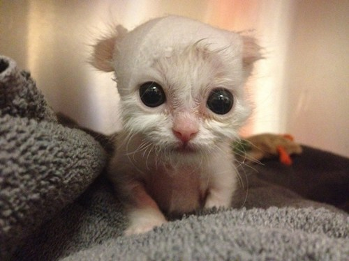 big eyes,Cats,cyoot kitteh of teh day,kitten,newborns,squee,tiny,white