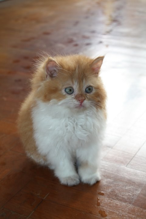 Cats,cyoot kitteh of teh day,Fluffy,furby,kitten