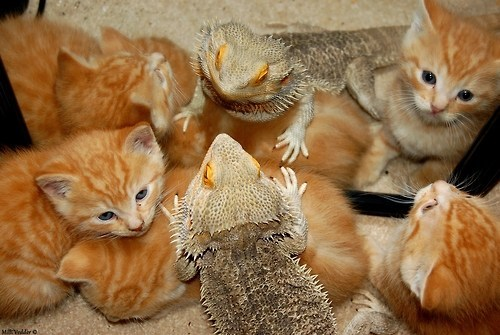 bearded dragons,Cats,cyoot kitteh of teh day,Interspecies Love,kitten,lizards