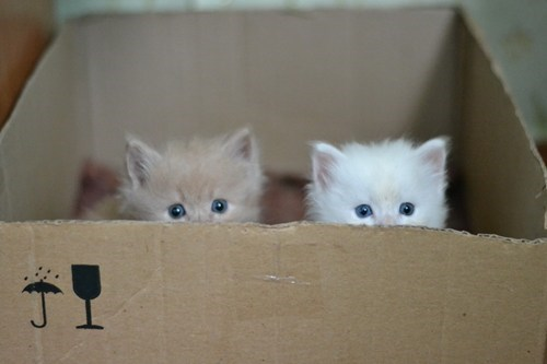 boxes,cardboard boxes,Cats,cyoot kitteh of teh day,kitten,peeking,two cats