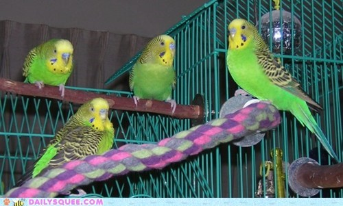 bird budgie cage flock pet reader squee - 6597272320