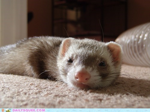 ferret pet reader squee sleepy whiskers - 6597596928