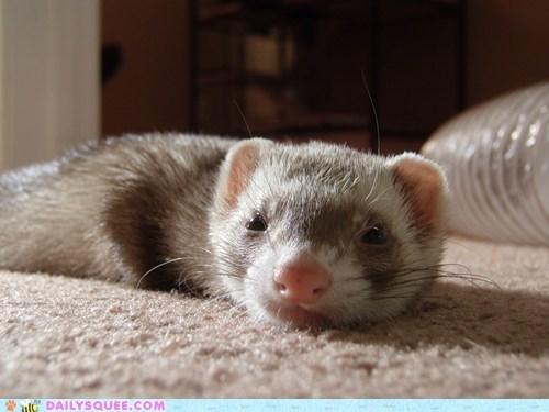 ferret pet reader squee sleepy whiskers - 6597596928