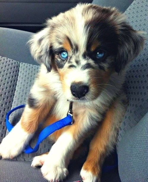 australian shepherd blue eyes cyoot puppy ob teh day dogs puppy - 6598756352