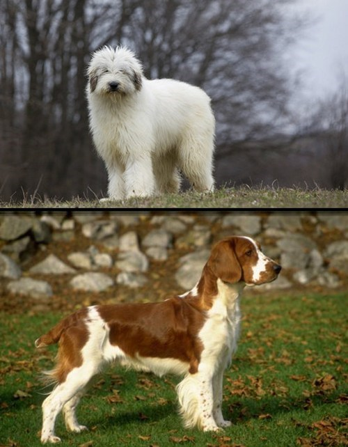 dogs face off goggie ob teh week poll romanian mioritic versus welsh springer spaniel - 6598786048