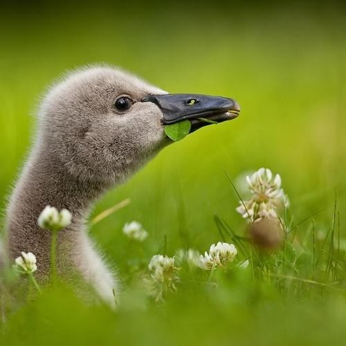 swan baby birds black swan cygnet ugly duckling eating squee - 6599808512