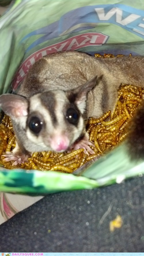 meal worms,noms,pet,reader squee,snacks,sugar glider