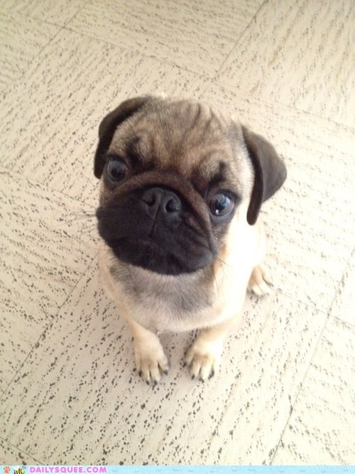 dogs pet pug puppy reader squee