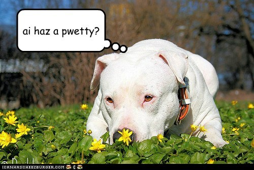 dogs,cute,pitbull,i has a,Flower,pretty