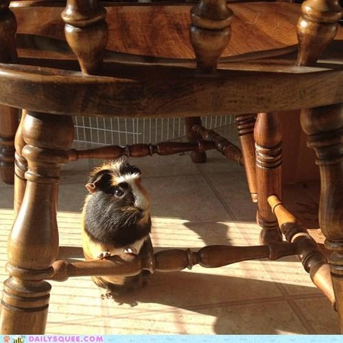 chair free range guinea pig pet reader squee - 6603473664