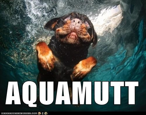 underwater dogs aqua man swimming Rotweiler