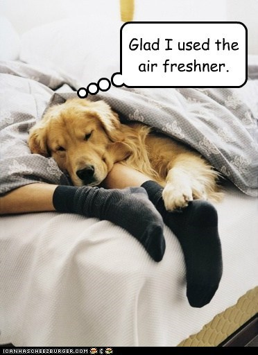 dogs,bed,air freshener,socks,golden retriever,sleeping