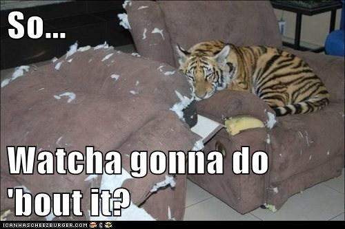 tiger,Whatcha Gonna Do,furniture,torn,confident