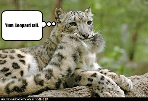leopard snow leopard tail biting eating tasty yum - 6604306944