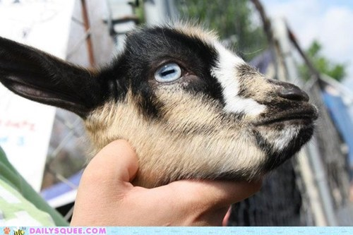 blue eyes goat pet pygmy goats reader squee squee - 6608491776