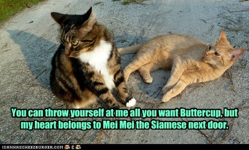 heart romance love siamese Cats captions cheater - 6609827840