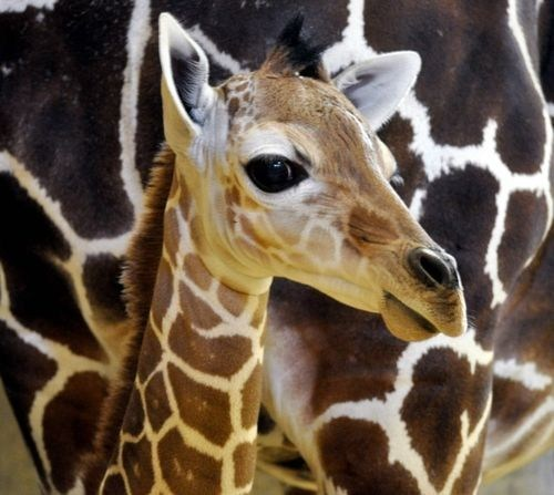 baby,giraffes,poll,results,squee spree,winner