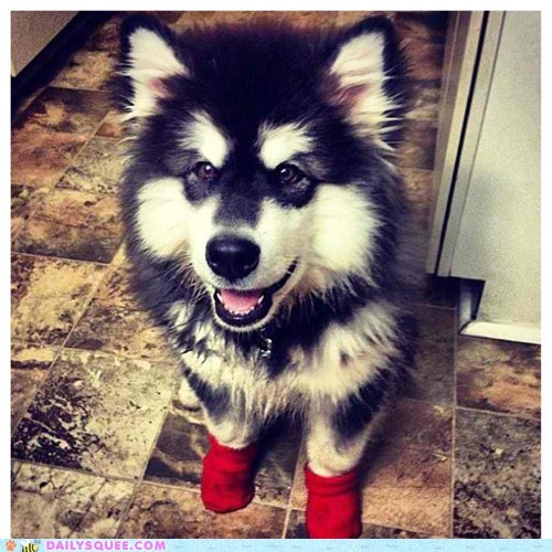 reader squee pet squee dogs malamute socks - 6610236160