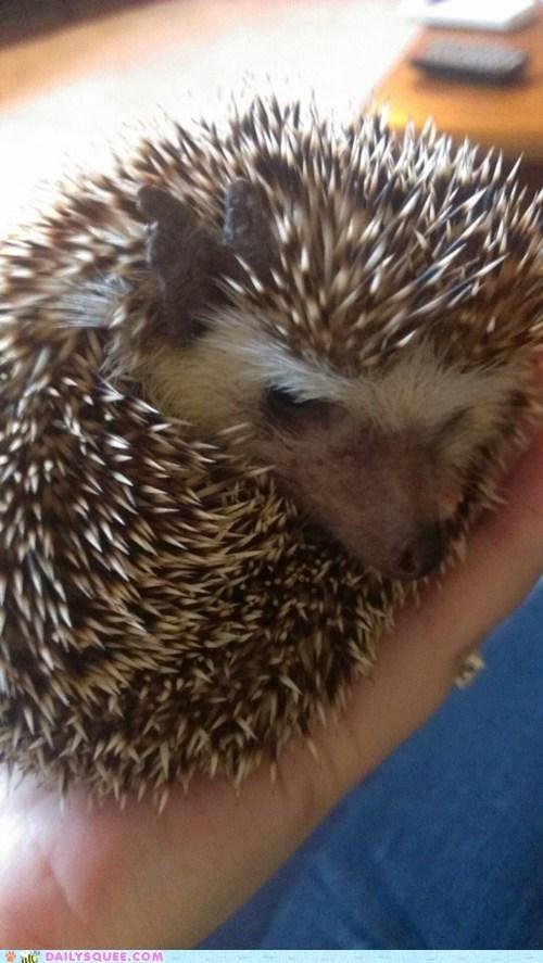 hedgehog nap pet reader squee sleeping spines - 6610767360