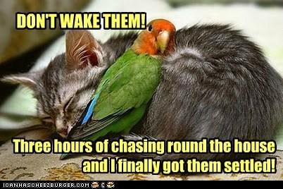 kitten babysitting parrot sleeping chasing plea settled - 6611034880