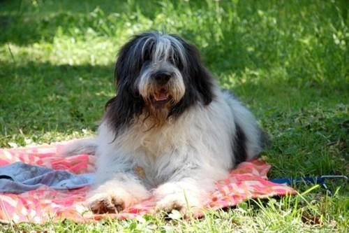 dogs,goggie ob teh,mioritic sheepdog,park,picnic,romania