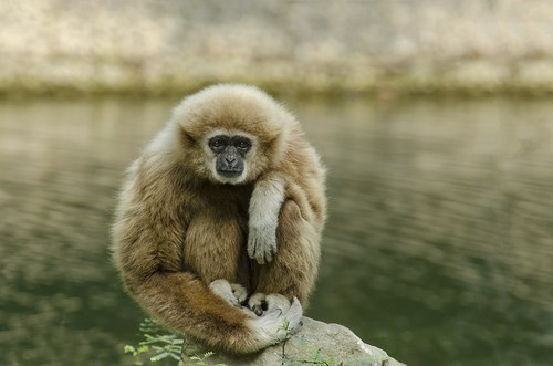 meditating gibbon monkey lake squee meditation