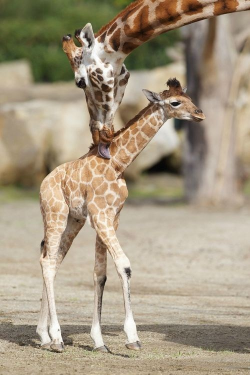 baby,giraffes,grooming,long neck,mommy,squee spree