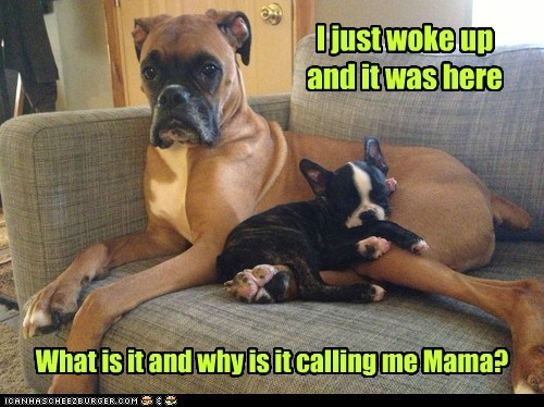 dogs,baby,who is this guy,puppy,mama,pregnant,boxer