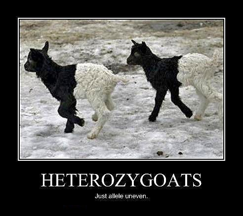 double meaning,goats,heterozygotes,homophone,literalism