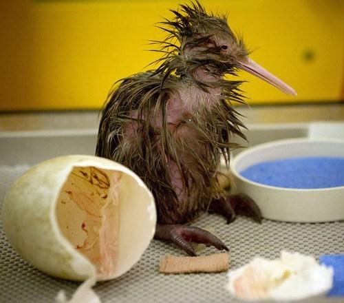 bald bird dinosaurs egg feathers hatchling kiwi newborn - 6613523456