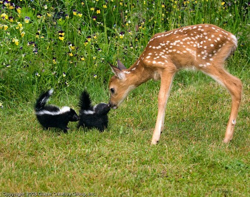 Interspecies Love,deer,skunk,Babies,fawn,bambi