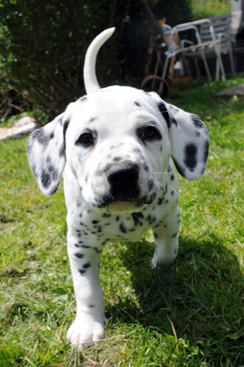 cyoot puppy ob teh day dalmatian dogs puppy spots - 6613721856